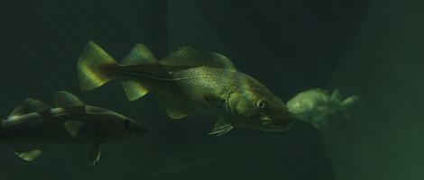 bacalhau-aquario-bebespontocomes