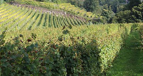 vinhas-vinho-verde-quinta-covela-adn-baiao-bebespontocomes